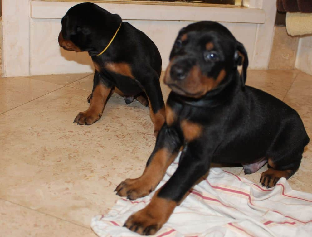 3 week old black and rust, red and rust doberman puppies