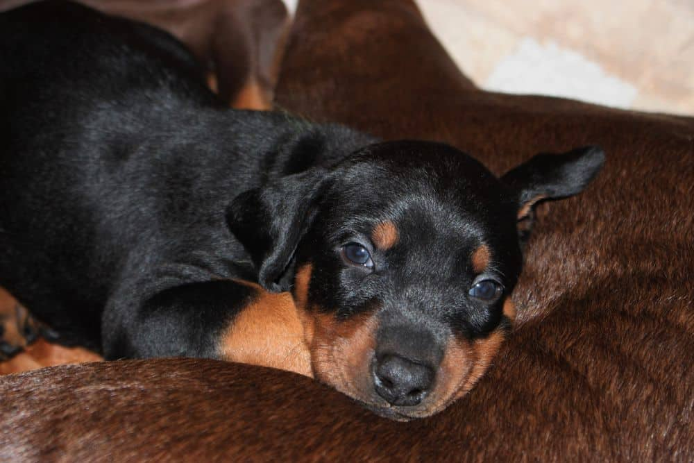 4 week old red and rust doberman puppy