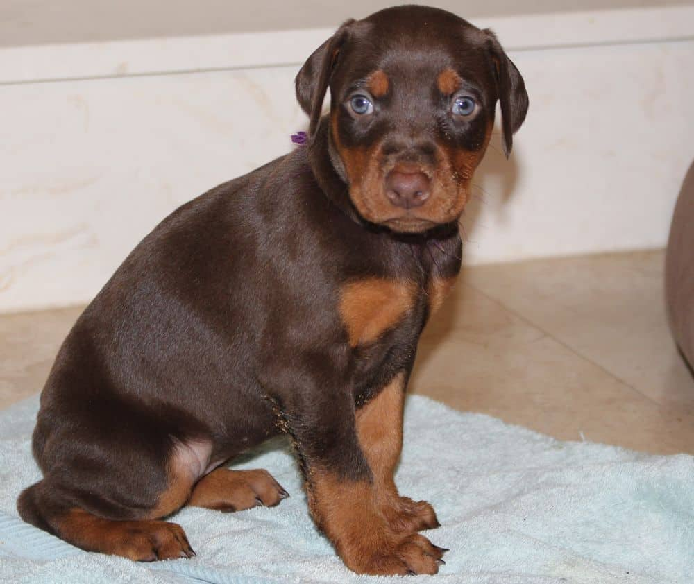 4-1/2 week old red and rust doberman puppy