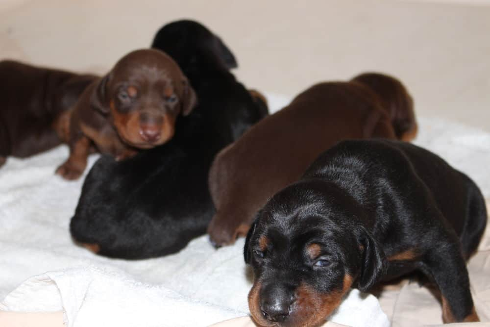 almost 2 week old black and rust, red and rust doberman puppies