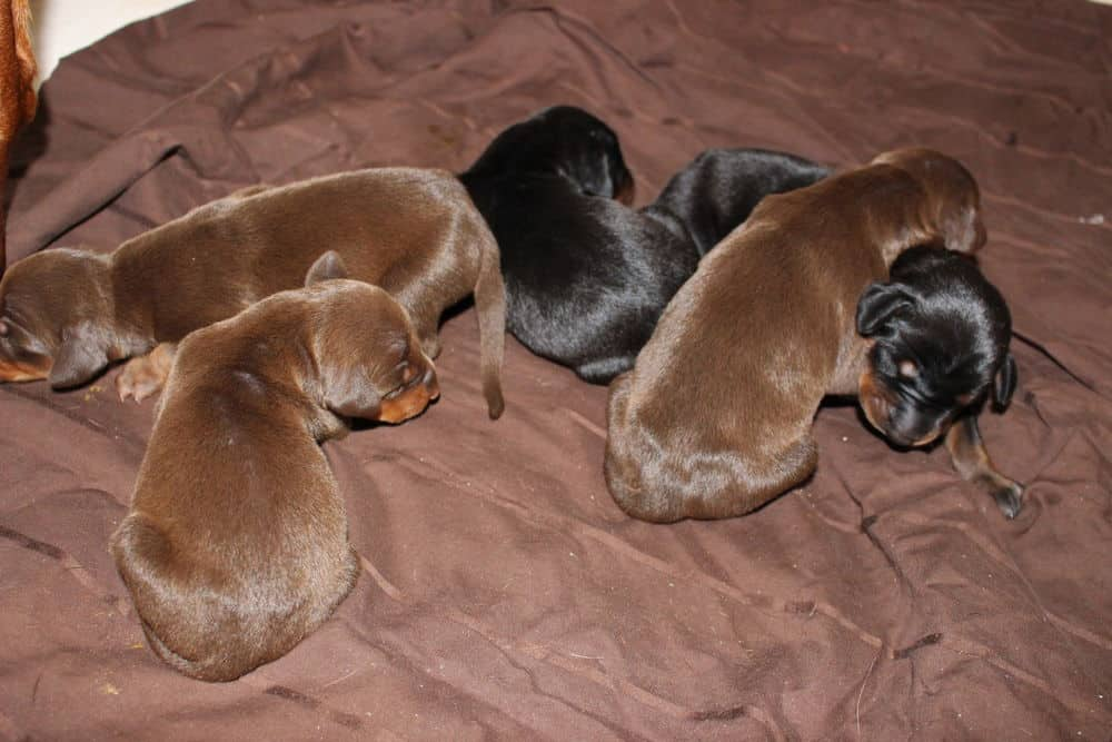 4 day old doberman puppies