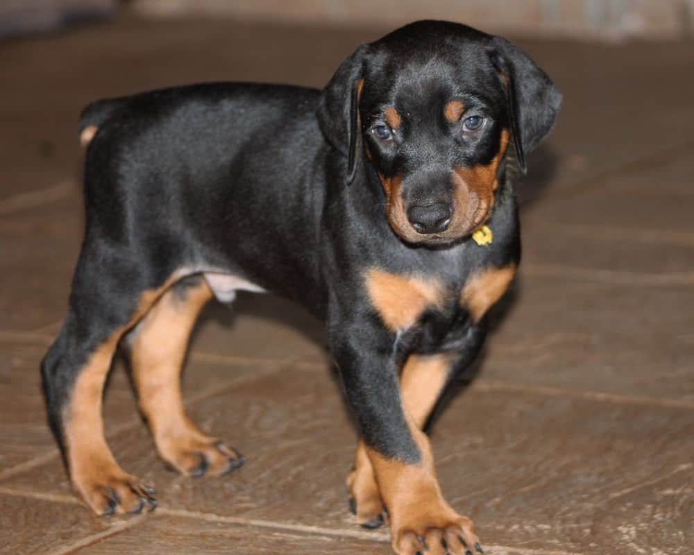 5 week old black and rust male doberman puppy