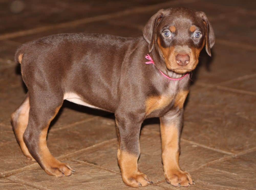 5 week old red and rust female doberman puppy