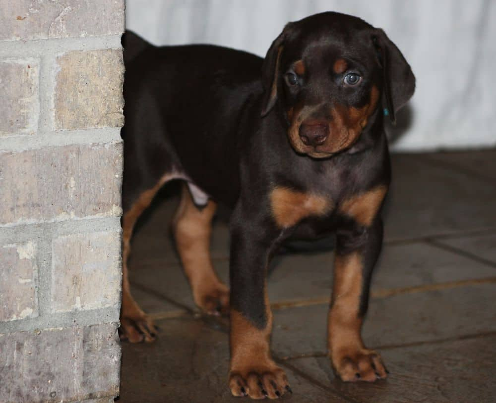 5 week old red and rust male doberman puppy