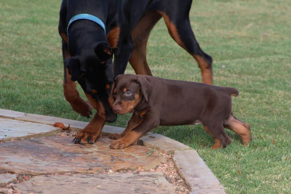 5 week old red and rust / black and rust doberman puppies
