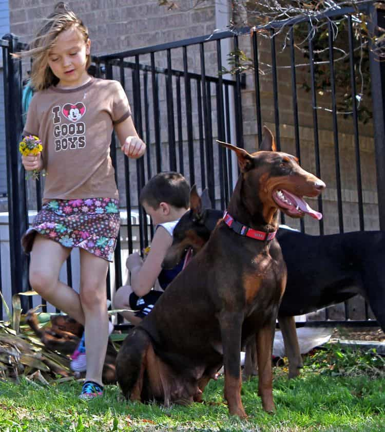 red and rust adult female doberman playing with children and pups