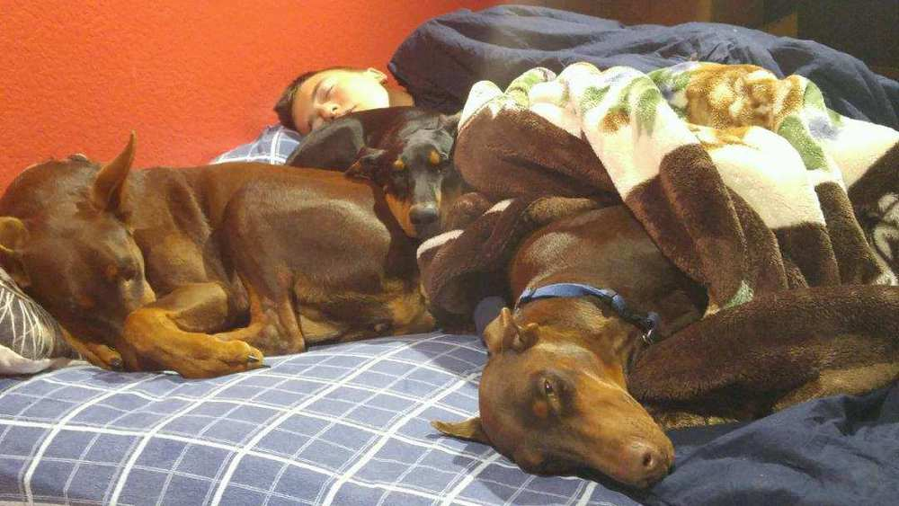 red and rust female doberman and her mother and black and rust male doberman