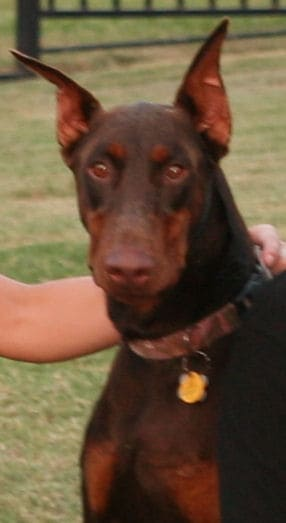 red female doberman