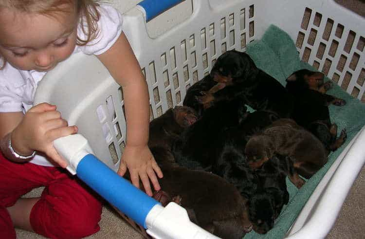 Doberman puppies at 1 week old