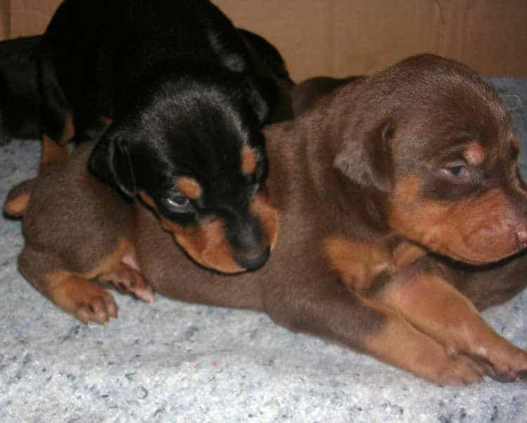 Doberman puppies at 2 weeks old