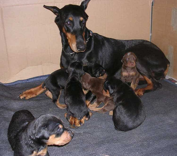 Doberman puppies at 3 weeks old