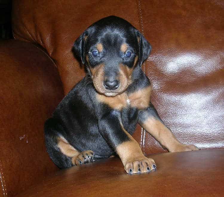 black female Doberman puppy tagged green