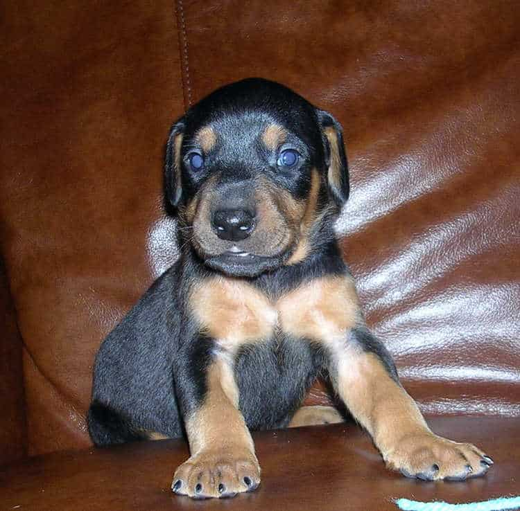 black male Doberman puppy tagged blue
