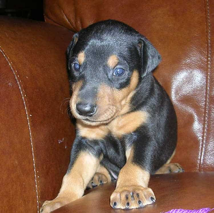 black male Doberman puppy tagged purple