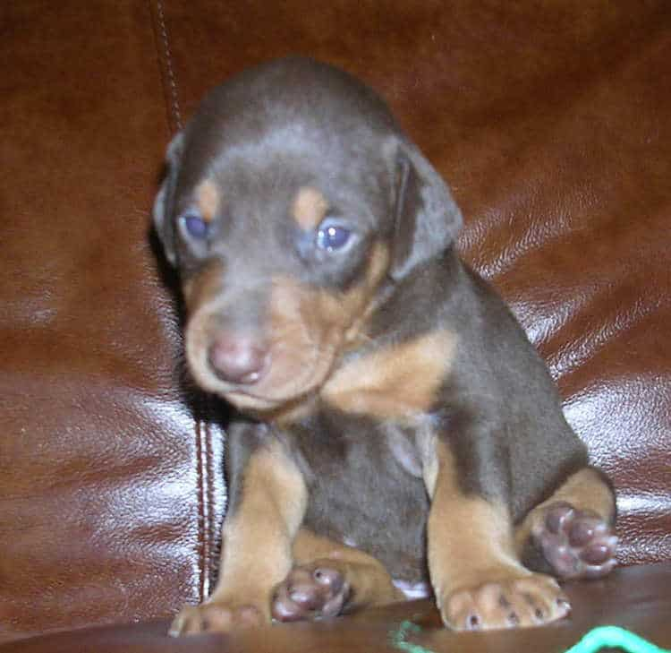 red female Doberman puppy tagged green