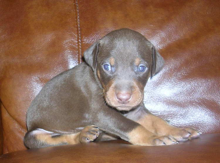 red female Doberman puppy tagged purple