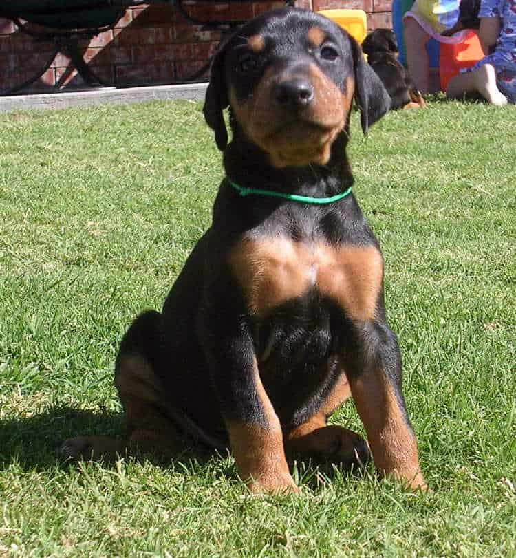 black and rust 4 week old female doberman puppy