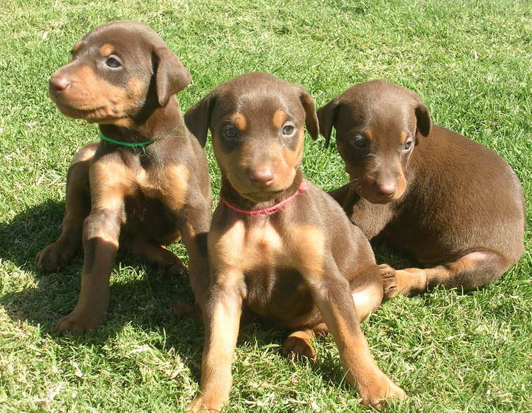 4 week old doberman red rust female puppies