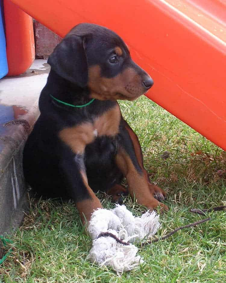 5 week old doberman puppies