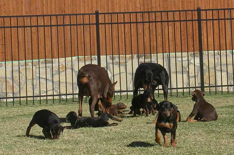 6 week old doberman puppies
