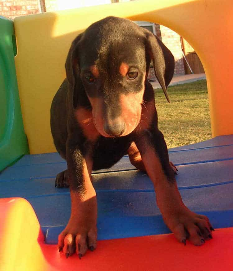 6 week old black rust female doberman puppy
