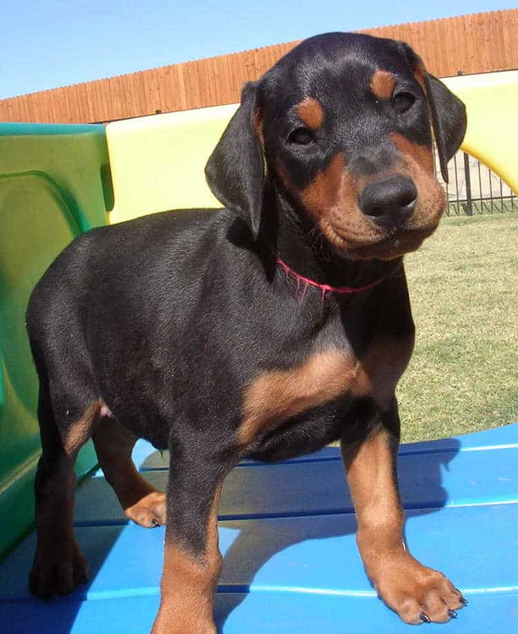 6 week old black rust male doberman puppies