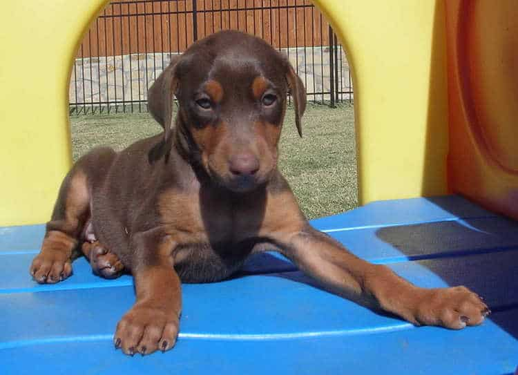 6 week old red rust female doberman puppies