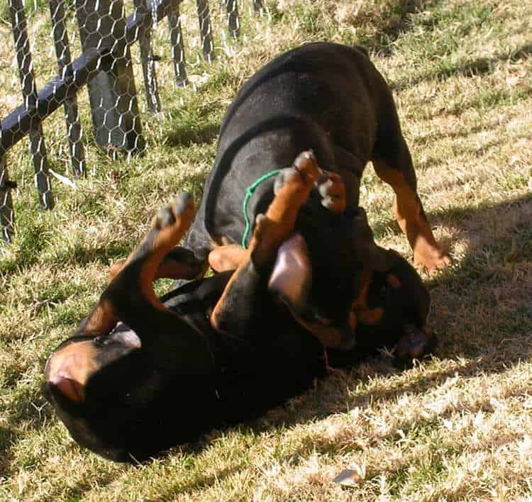 8 week old doberman puppies playing