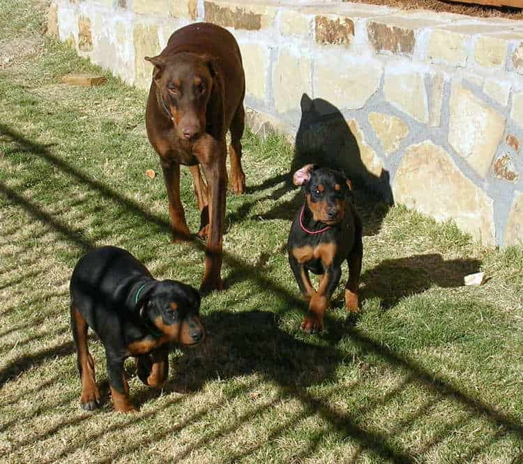 8 week old doberman puppies playing with mom