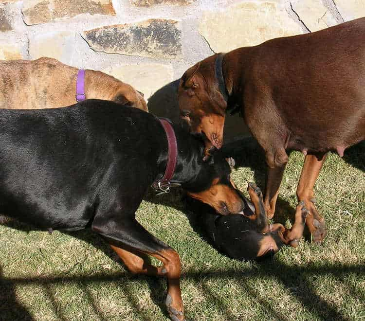 8 week old doberman puppies playing with adult dogs
