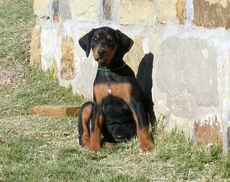 8 week old black rust female doberman puppy