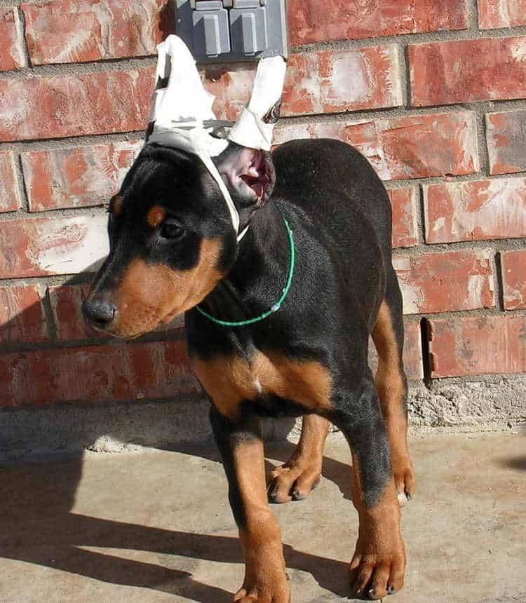 9 week old black rust cropped female doberman puppy