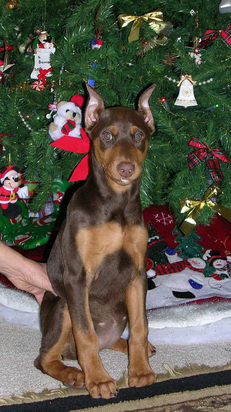 10 week old red rust cropped female doberman puppy at new home