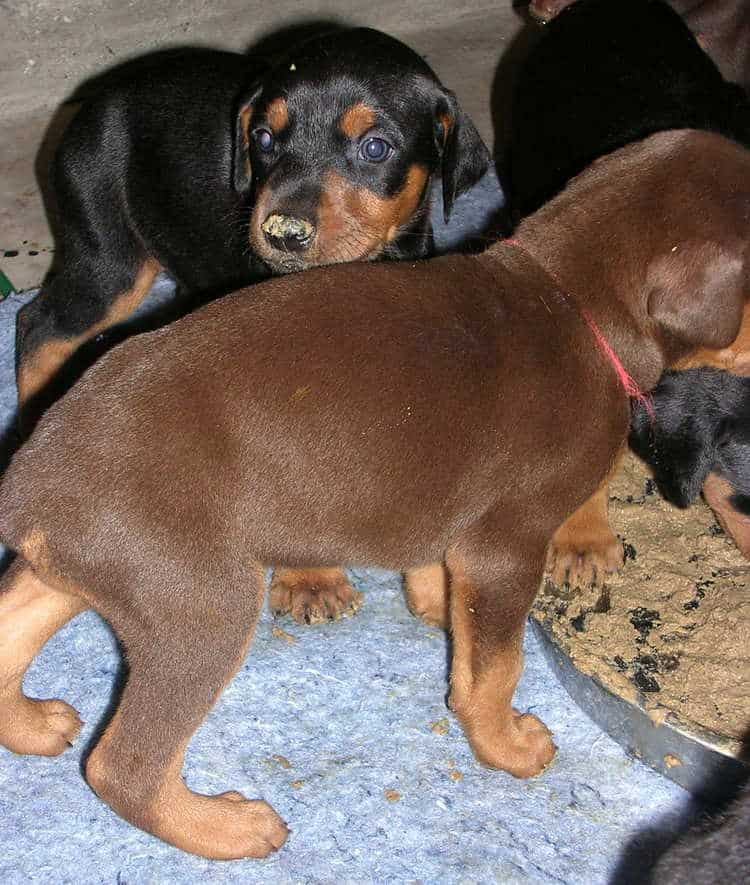 doberman puppies introduced to food