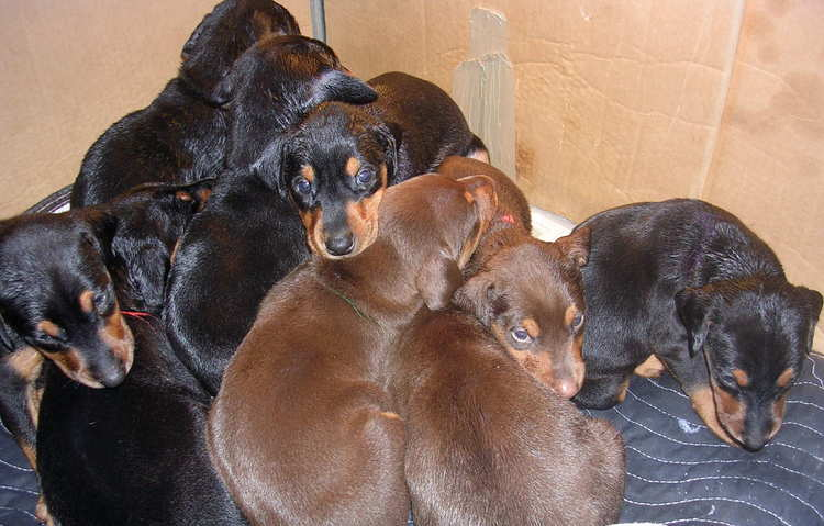 Doberman puppies nap time