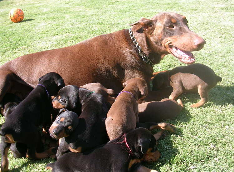 doberman puppies outside with mom