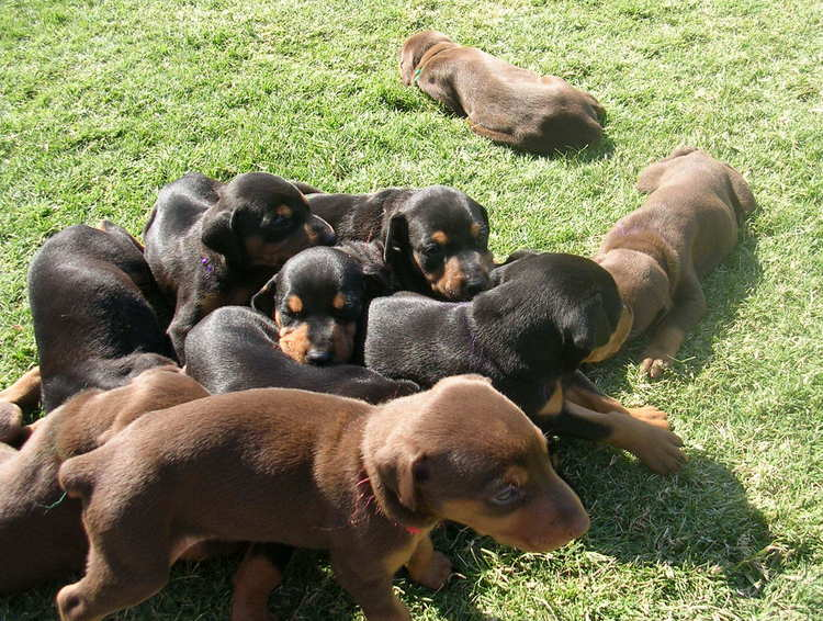 doberman puppies playing outside