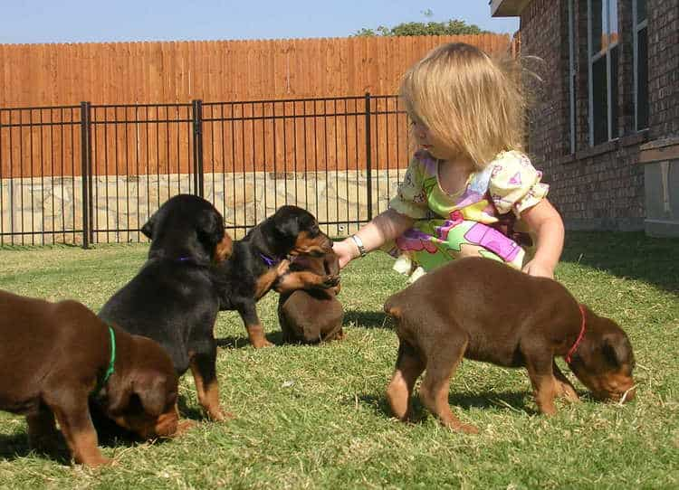 Doberman puppies play with children