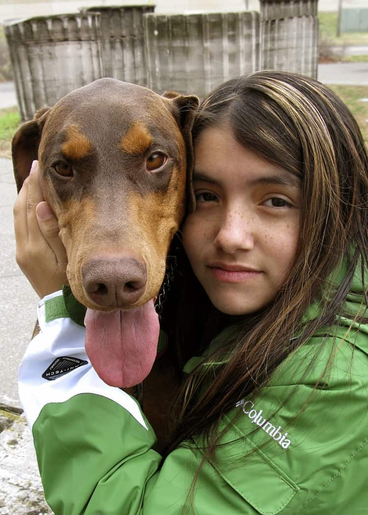 red femal Doberman 3 years old