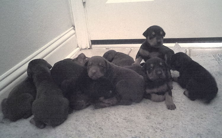 2 week old doberman puppys