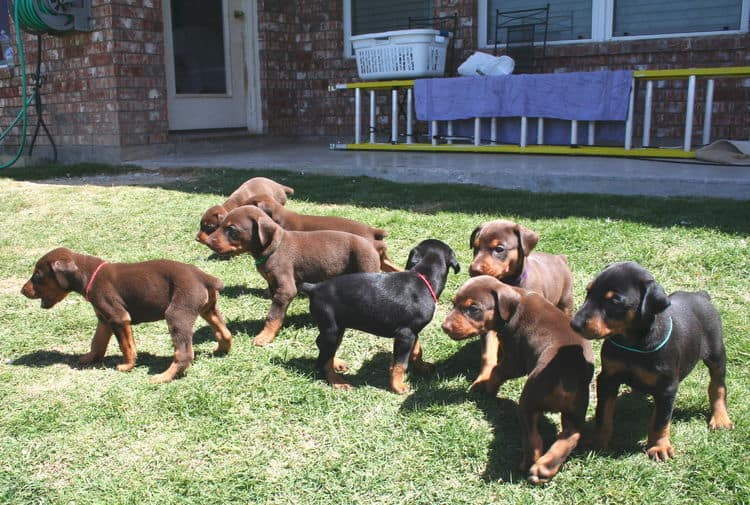 4 week old doberman puppies