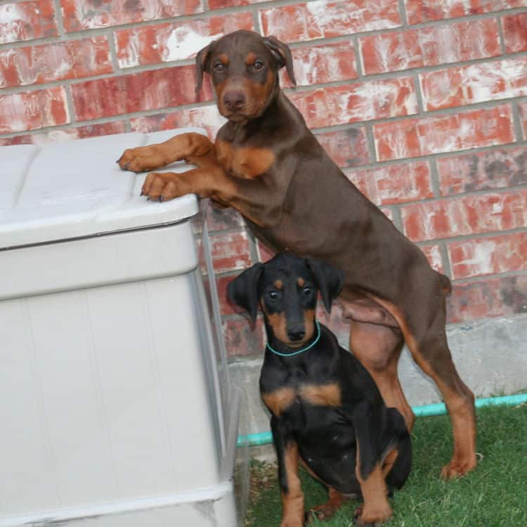 doberman female pup natural ears