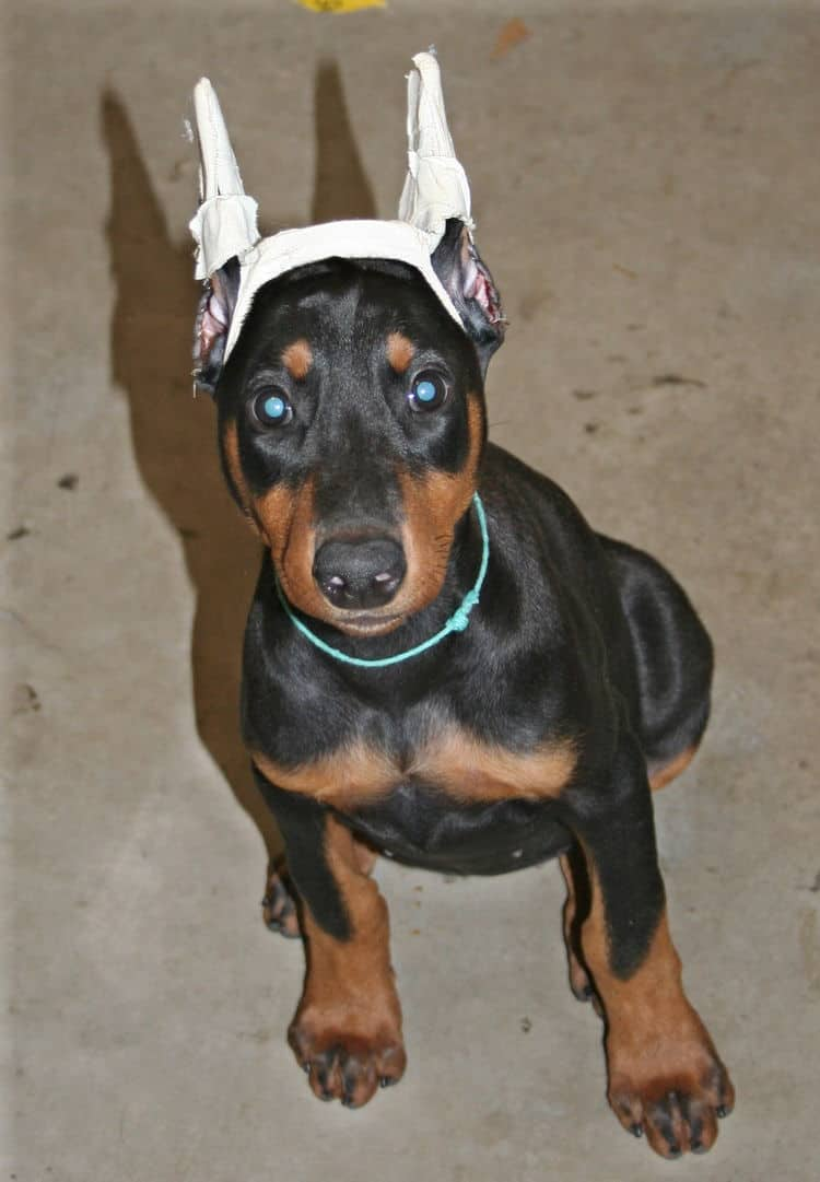 doberman female pup with crop ears crown