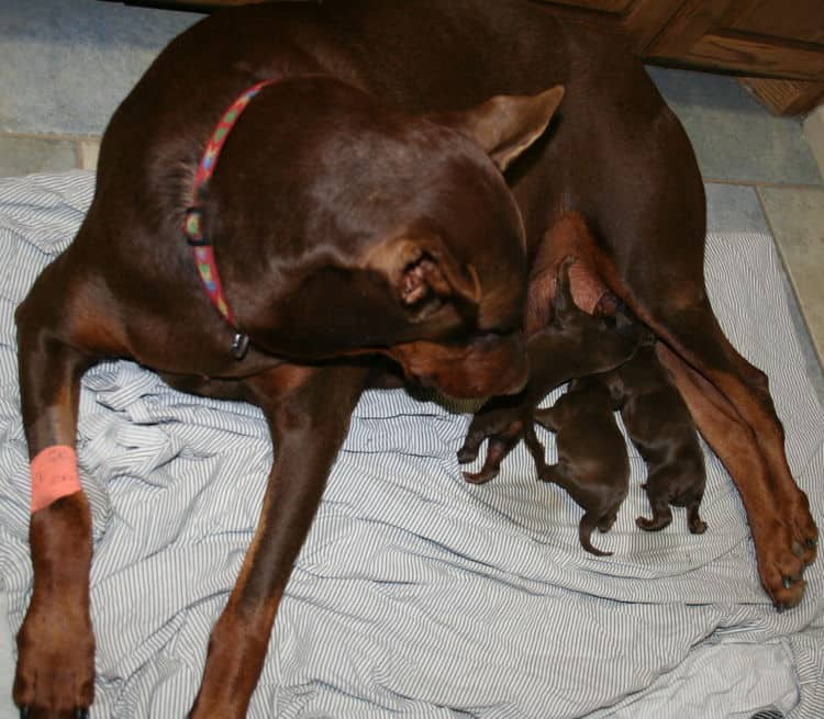 doberman puppies red and rust - 1st day of birth by c-section