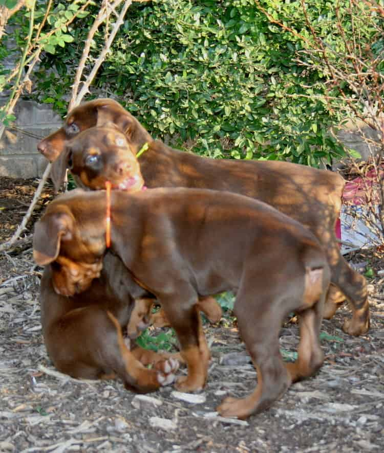 red and rust dobie pups playing