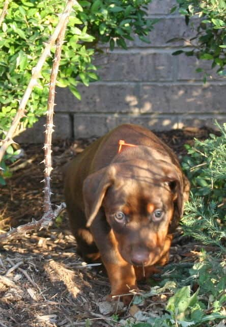 red female dobe pup