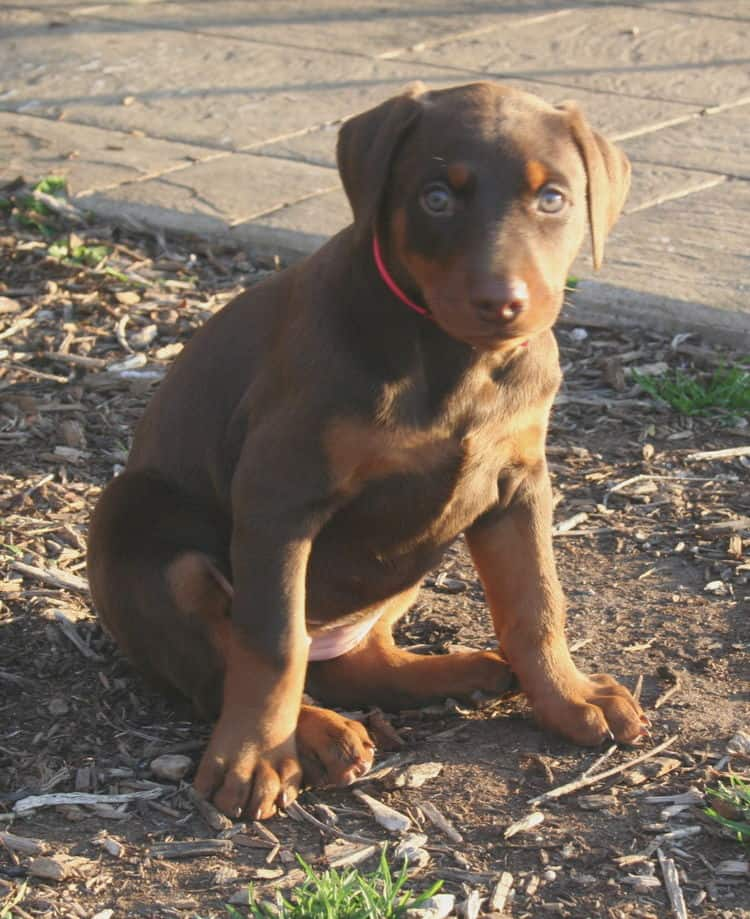 red and rust dobie pup playing