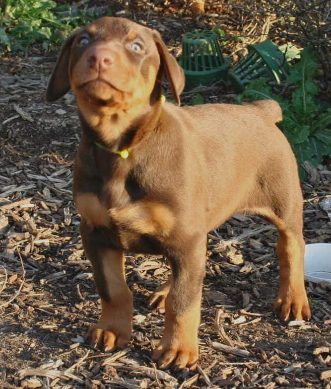 red male dobe pup
