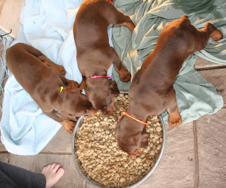 young doberman puppies eating food for first time