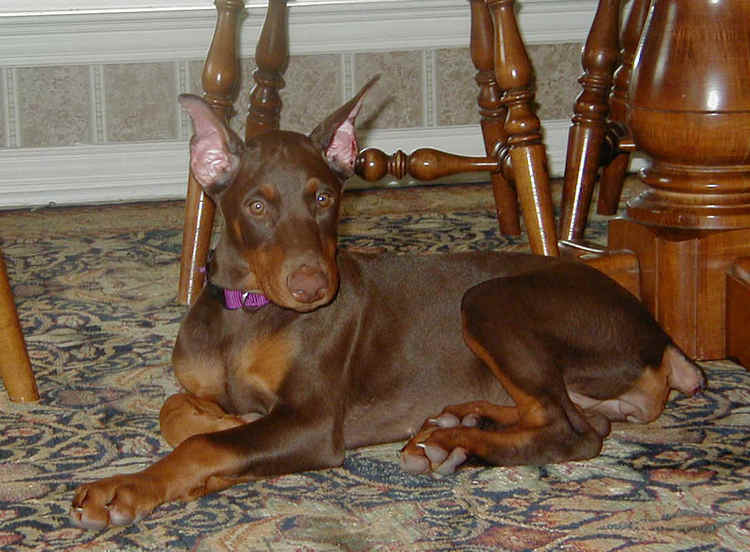 red rust female doberman puppy cropped ears